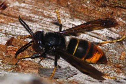 la avispa asiatica asociaci n de apicultores de la. Black Bedroom Furniture Sets. Home Design Ideas