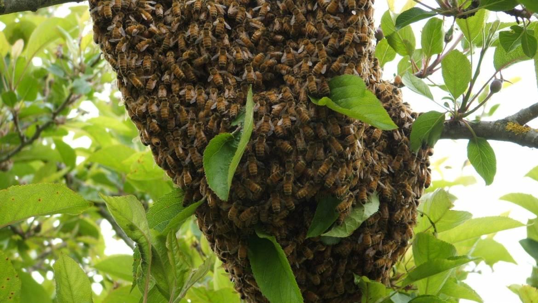 Como atraer un enjambre de abejas